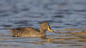 Yellow-billed Duck on Lake. Yellow-billed duck, Anas undulata, is swimming on lake in Dinsho Wetlands, Bale Mountain, Ethiopia, Africa stock photography