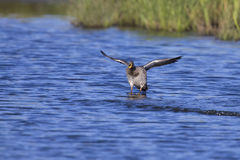 Yellow billed duck landing on a pond of water Stock Image