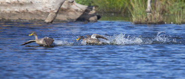 Yellow billed duck landing on a pond of water Stock Photos