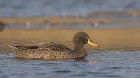 Yellow-billed Duck on Pond. Yellow-billed duck, Anas undulata, is swimming on lake in Dinsho Wetlands, Bale Mountain, Ethiopia, Africa stock photo