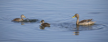 Yellow billed duck on a pond of blue water with ducklings. Yellow billed duck on a pond of blue water with two ducklings royalty free stock photography