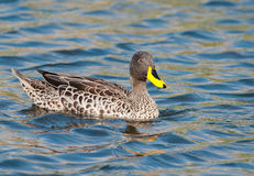 Yellow-billed duck right Royalty Free Stock Photo