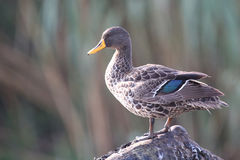 Yellow billed duck standing on branch and preen Stock Images