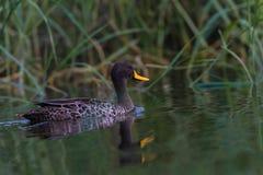 Yellow-Billed Duck Wetland royalty free stock photo