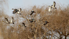 Yellow billed ducks in flight. Royalty Free Stock Photos