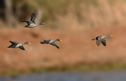 Yellow billed Ducks in flight Stock Photo
