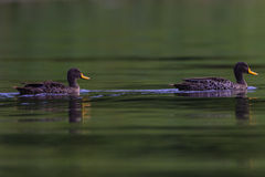 Yellow-Billed Ducks Line Stock Photo