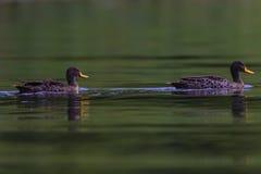 Yellow-Billed Ducks Line stock photo