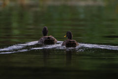 Yellow-Billed Ducks Rear Stock Photos