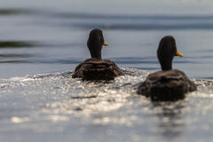 Yellow-Billed Ducks Rear Stock Image