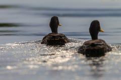 Yellow-Billed Ducks Rear stock image