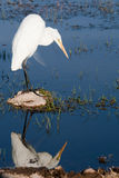 Yellow billed egret Royalty Free Stock Images
