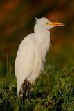 Yellow Billed Egret Royalty Free Stock Photos