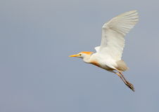 Yellow Billed Egret Stock Photos