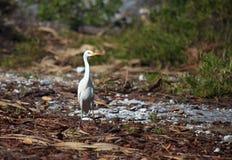 Yellow-billed Egret. (Mesophoyx intermedia Stock Images