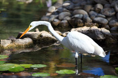 Yellow-billed Egret Stock Images