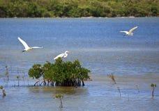 Yellow-billed Egret. (Mesophoyx intermedia Stock Photography