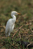 Yellow-billed Egret. (Ardea intermedia) ,also known as Intermediate Egret, on the river bank of the Okavango in Botswana stock photos