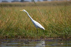 Yellow-billed egret Royalty Free Stock Photos