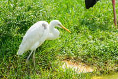 Yellow-billed Egret walking in wetland nature reserve Royalty Free Stock Photography