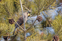 Yellow-billed Grosbeak Stock Photography
