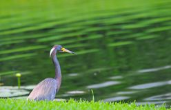 Yellow billed Heron stalking its prey. Yellow billed grey heron stalking its prey on the bank of a lake in Sarasota Florida royalty free stock photo