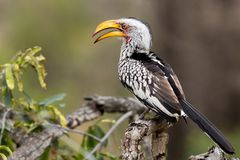 Yellow Billed Horn Bill,Tockus Leucomelas, sitting on a branch stock image