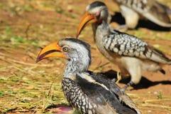 Yellow Billed Horn-bill - Wild Bird Background - Beak of Format Royalty Free Stock Photos