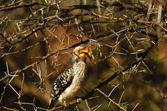 Yellow-billed hornbil Stock Image