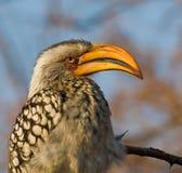 Yellow-billed Hornbill Royalty Free Stock Photos