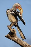 Yellow-billed hornbill Royalty Free Stock Image