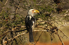 Yellow-billed hornbill. Southern Yellow-billed hornbill bird sitting in a thorny shrub, Africa Royalty Free Stock Photography