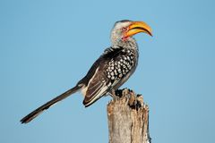 Yellow-billed hornbill Stock Photos