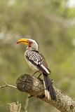 Yellow Billed Hornbill Stock Photos