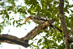 Yellow billed hornbill Royalty Free Stock Photos