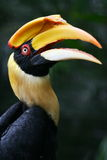 Yellow Billed Hornbill Royalty Free Stock Images