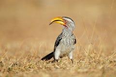 Free Yellow-billed Hornbill Stock Image - 74749441