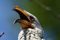 Yellow-Billed Hornbill. Colorful Yellow-billed hornbill with its beak open stock image