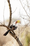 Yellow-billed hornbill Royalty Free Stock Photos