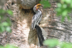 Yellow-billed hornbill. At a baobab tree Stock Photo