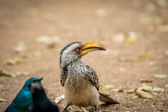 Yellow-billed hornbill and Cape starlings stock photos