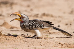 Yellow billed hornbill close digging for insects in dry Kalahari. Yellow billed hornbill close up digging for insects in dry Kalahari sand stock images