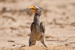 Yellow billed hornbill close digging for insects in dry Kalahari Stock Photos