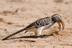 Yellow billed hornbill close digging for insects in dry Kalahari Royalty Free Stock Photos