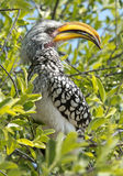 yellow billed hornbill Stock Images