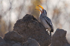 Yellow billed hornbill hunting for food on anthill Royalty Free Stock Photos