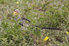 Yellow billed hornbill in Kruger Park Stock Image