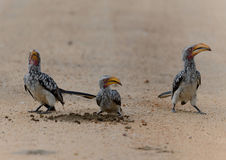 Yellow billed hornbill in Kruger Park Stock Photography