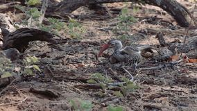 Yellow-billed Hornbill lookung for food on ground stock footage