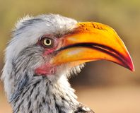 Yellow-billed hornbill. Portrait of yellow-billed hornbill with sun in making bill transparent. Beautiful Calendar image Stock Photo